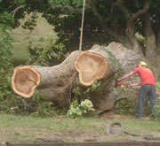 Ancient pecan tree being taken down