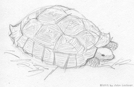 tortoise drawing by John Lechner