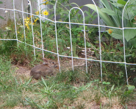 Bunny under fence