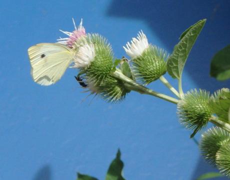 Butterfly on a burr flower