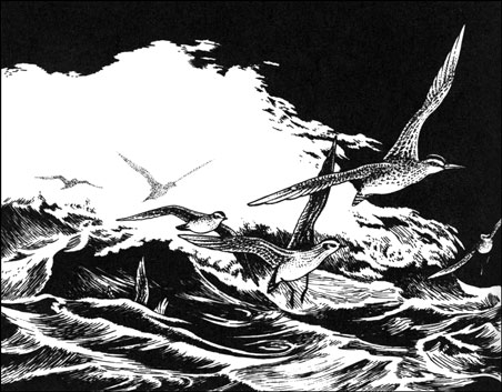 Illustration from Last of the Curlews, © by Abigail Rorer