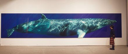 Life size photograph of a minke whale